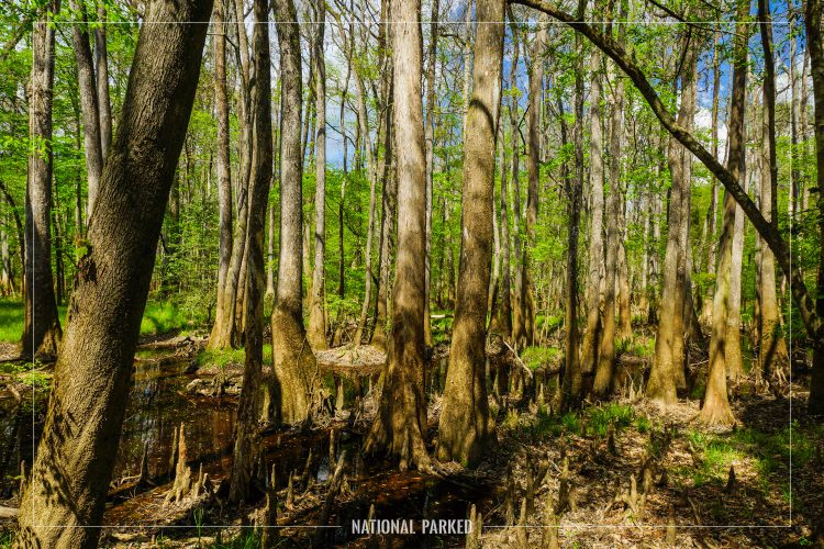 Floodplain Forest in Congaree National Park in South Carolina