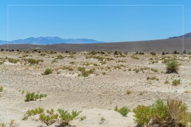 Devil's Cornfield in Death Valley National Park in California