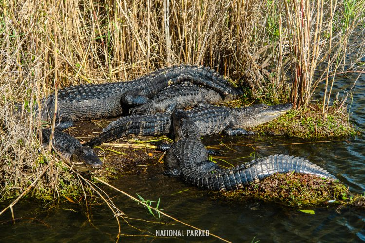 Anhinga Trail Alligators in Everglades National Park in Florida