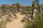 Boy Scout Trail in Joshua Tree National Park in California