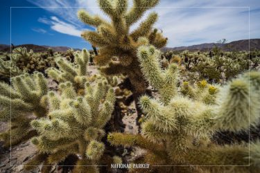 Cholla Gardens, Joshua Tree National Park, California