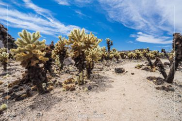 Cholla Gardens in Joshua Tree National Park in California