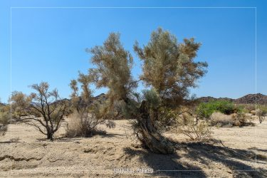 Smoke Tree Wash in Joshua Tree National Park in California