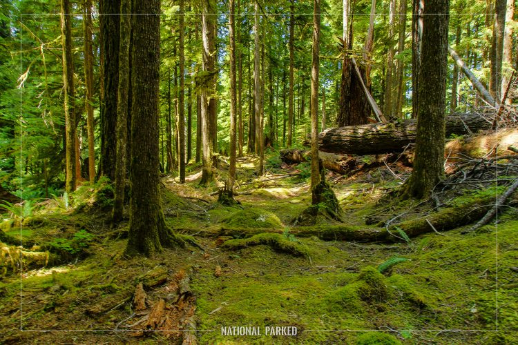 Ancient Groves Nature Trail in Olympic National Park in Washington