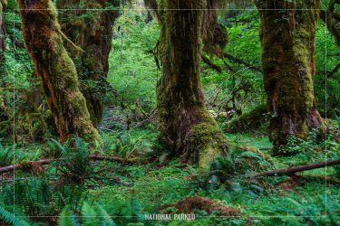 Hall of Mosses in Olympic National Park in Washington