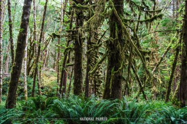Quinault Rain Forest in Olympic National Park in Washington