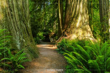 Simpson-Reed Grove in Redwood National Park in California