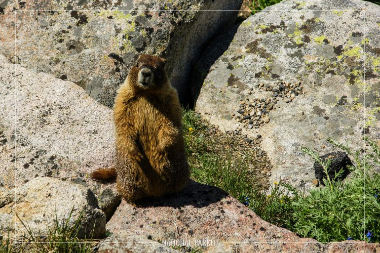 Yellow Bellied Marmots in Rocky Mountain National Park in Colorado