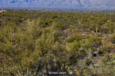 Cactus Forest Overlook in Saguaro National Park in Arizona