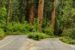Giant Forest Road Split in Sequoia National Park in California