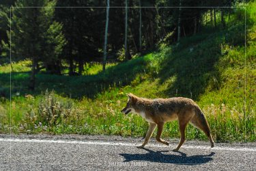 Coyote in Yellowstone National Park in Wyoming